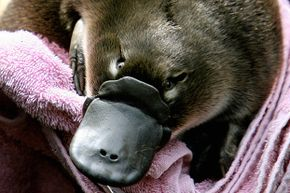 """A Platypus baby or """"puggle"""" is held before being transferred back to its burrow at Sydney's Taronga Zoo. The platypus is one of only two mammals that lays eggs."""