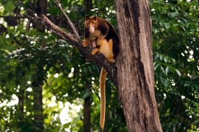 The dingiso is a close relative of this tree kangaroo (shown with her joey) in Indonesia.