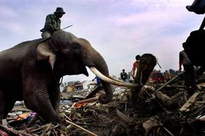 Some elephants seemed to sense the December 2004 tsunami was coming. This elephant named Sadat helped in the clean-up efforts by clearing debris in Banda Aceh, Indonesia.