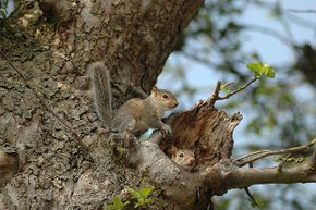 Two baby squirrels emerge from their nest. Does the nest location foretell the kind of winter we might have?