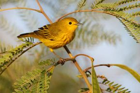 Scientists noticed that golden-winged warblers left town days before a tornado in Tennessee and returned afterwards. It could be they were able to hear the infrasound from the approaching storm system.