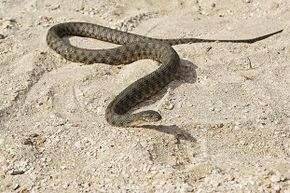 Snakes can sense earthquakes immediately before they occur. But what about days in advance?