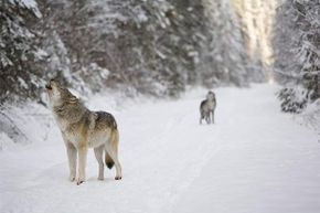 Wolves howl mainly because, well, they're wolves and that's how they communicate. But scientists also think air pressure from an approaching storm might cause them to howl in pain.