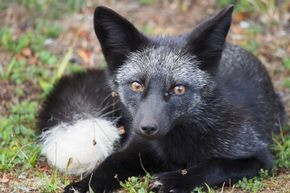 Russian geneticist Dmitry K. Belyaev managed to domesticate silver foxes within about two decades.