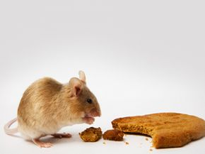 A mouse unconcerned with living longer