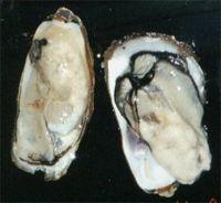 Matoya oysters