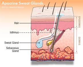 Illustration of the apocrine sweat glands.