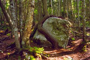 Hikers will see all types of terrain and wildlife along the Appalachian Trail, like this unusual tree growing around a boulder in Baxter State Park, Maine.