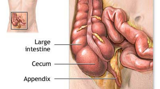 How Your Appendix Works