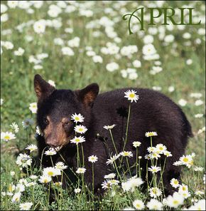 Spring time is feasting time in the world of bears.