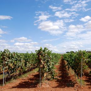 Apulian wines are a practical purchase in today's economy - good wine at a good price. See our collection of wine pictures.­