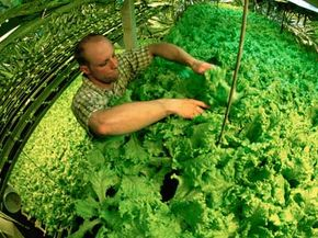 A hydroponics gardener harvests lettuce in Antarctica. See more pictures of vegetables.