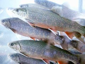 Trout are often farmed in aquaponics systems.