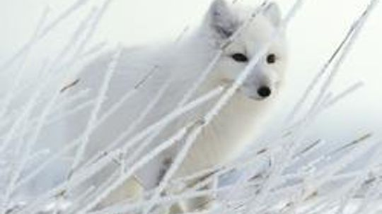 Arctic Animal Pictures