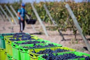 The first Argentinian vines were planted in the Mendoza region sometime in the mid-16th century by newly arrived Spanish settlers.