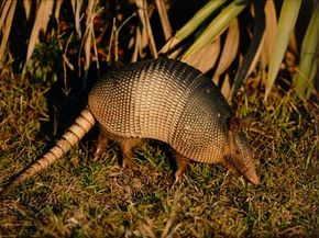 Armadillo ancestors reached South America around 100 million years ago. See more mammal pictures.