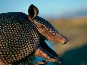 The armadillo's hard shell, called a carapace, is made of bone and a tough tissue coating.