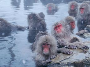Here's another benefit of geothermal: Monkeys like it. Japanese macaques hanging out at the hot springs in Macaca Yamanouchi Town, Nagano Prefecture, Japan.