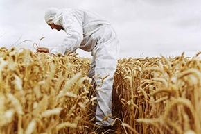 Today's wheat is a product of centuries of cross-breeding, but does that mean it has been genetically engineered?