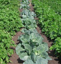 Climatic factors, such as sunlight, affect and when See more pictures of vegetable gardens.