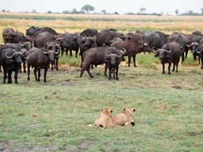 These lions at Chobe National Park in Botswana aren't quite sure if they feel lucky.