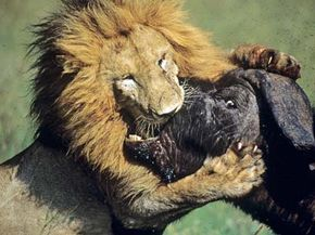 Lion: 1, Buffalo: 0 See more pictures of African animals.