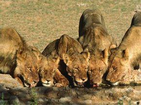 The pride takes a water break at Kalahari Gemsbok National Park, South Africa