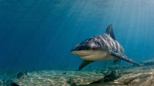 How Bull Sharks Work