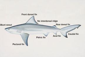 The anatomy of a bull shark