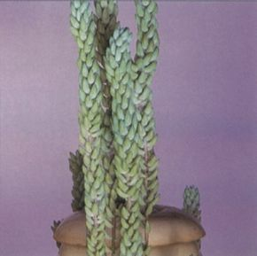 Burro's tail plant is aptly named for its long stems' cylindrical shape. See more pictures of house plants.