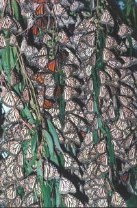 Monarch butterflies perch on a tree limb in an overwintering ground in Mexico.
