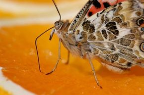 A moth uses its proboscis to feed from an orange. Although they have some notable differences, moths and butterflies are quite similar.