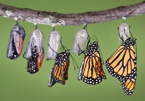 In this composite image, a monarch butterfly emerges from its chrysalis and expands and dries its wings.