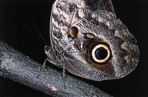 The underside of this owl butterfly's wing blends in with woody textures and features a large eyespot to startle predators.