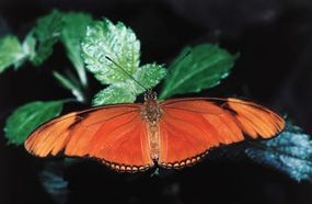 On the island of Trinidad, a Julia butterfly rests with its wings spread open.