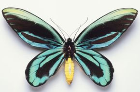 The vibrant, blue wings of this Queen Alexandra's birdwing make it easy to spot, especially since it has an 11-inch wingspan. See more insect pictures.