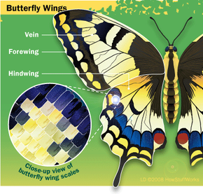 Diagram of a butterfly wing