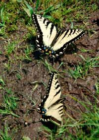 Butterflies get many necessary nutrients from the soil by way of puddles.