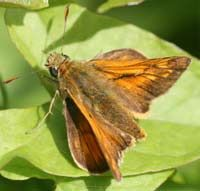 The skipper: a little like a moth and a little like a butterfly, with a unique wing posture