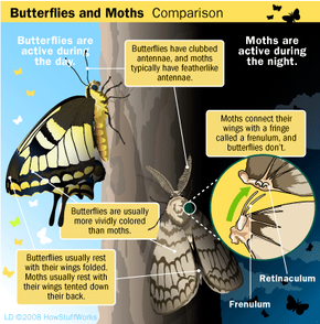 The main differences between butterflies and moths have to do with how they look and how they act.