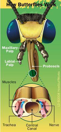 Butterfly proboscis anatomy