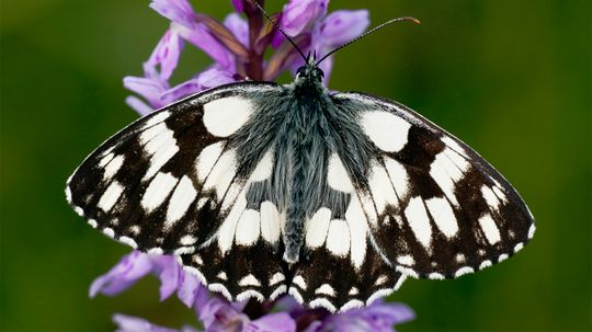 Good News! Some Butterfly Populations Bounced Back in 2019