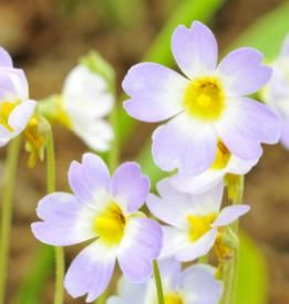 """Pinguicula means """"little greasy one"""" in Latin."""