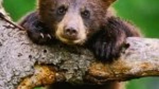 Baby Bear Pictures