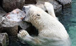 Unless you have the teeth of a polar bear, it's best to stay away from chewing ice.