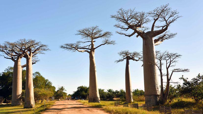 baobab trees Africa