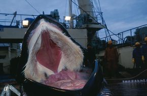 Slaughtered whale's baleen