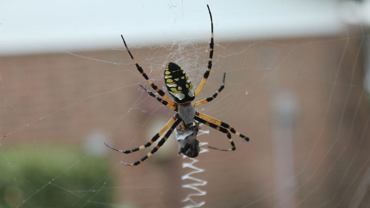 Will the Real Banana Spider Please Stand Up?