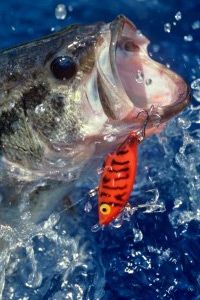 Fishing Image Gallery Largemouth Bass diving for lure. See more fishing pictures.