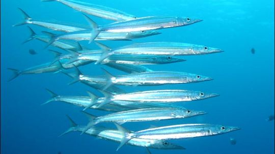 Barracuda  Facts, Pictures, Video